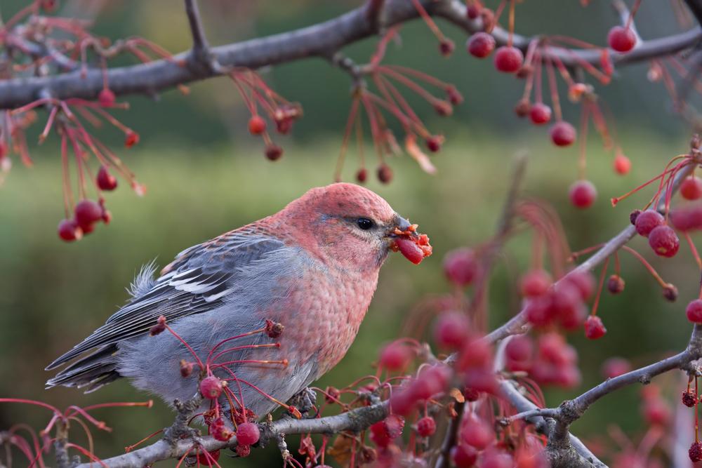 Christmas Bird.Christmas Bird Counts