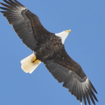 Bald Eagle photo by Wayne Fidler