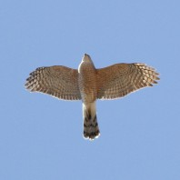 Cooper's Hawk photo by Steve Kolbe