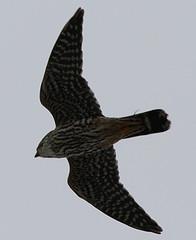 Merlin photo by S. Kolbe