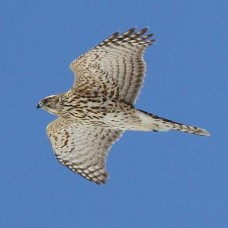 Northern Goshawk photo by S. Kolbe