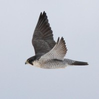 Peregrine Falcon photo by S. Kolbe