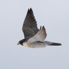 Peregrine Falcon photo by S. Kolbe