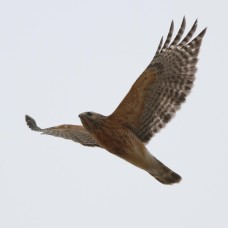 Red-shouldered Hawk photo by S. Kolbe