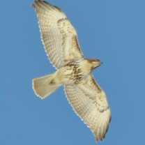 Red-tailed Hawk Wayne Fidler