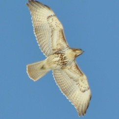 Red-tailed Hawk photo by W. Fidler