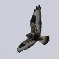 Rough-legged Hawk photo by Steve Kolbe