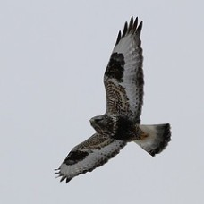 Rough-legged Hawk photo by Steve Kolbe