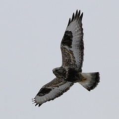 Rough-legged Hawk - Steve Kolbe