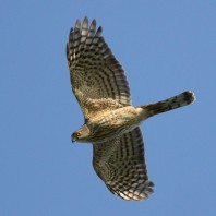 Sharp-shinned Hawk photo by S. Kolbe