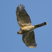 Shar-shinned Hawk S Kolbe