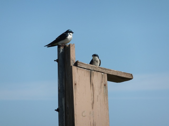 Tree Swallow pair on nest box