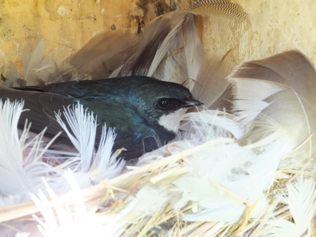Tree Swallow on nest