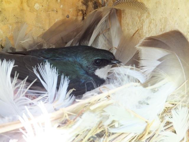 Tree Swallow on nest