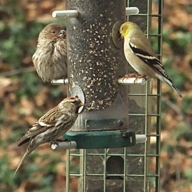 Birds that visit our feeders (from left: House Finch, Common Redpoll, American Goldfinch) will switch to natural foods when they become available. Credit: Diane Emord