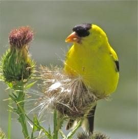 American Goldfinch on thistle Credit: Mitchell Nusbaum