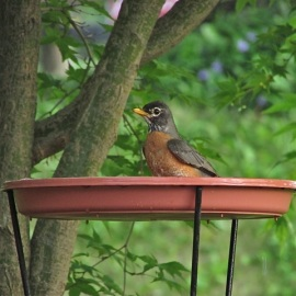 Birds that don't usually visit feeders will come in for water. Here, an American Robin bathes in a pedestal birdbath. Credit: Donna Sponn