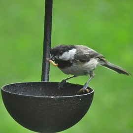 Many species, such as this Black-capped Chickadee, readily eat live mealworms and will feed them to their young. Credit: Donna Sponn