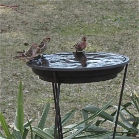 Common Redpolls getting a drink. Credit: Donna Sponn