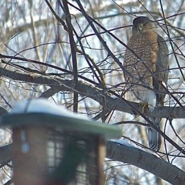 Accipiters like this Cooper's Hawk naturally prey on birds and frequently visit feeders. Credit: Donna Sponn