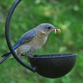 If you have the right habitat, Eastern Bluebirds can be lured in with live or dried mealworms. Credit: Donna Sponn