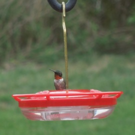 Male Ruby-throated Hummingbird on a saucer feeder. Credit: Rich Cross