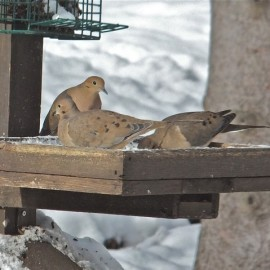 Mourning Doves will sit in their food and soil it. Trays must be kept clean. Credit: Diane Emord