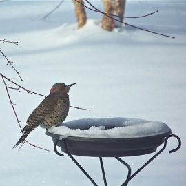 Heated birdbaths may freeze around the edges, but will keep some water unfrozen. Open water in winter is a major attractant to birds like this Northern Flicker. Credit: Donna Sponn