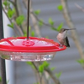 Saucer feeders with perches allow for good looks at Ruby-throated Hummingbirds (female), our only common species. Credit: Donna Sponn