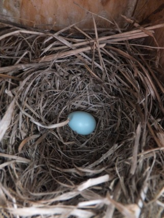 The first Eastern Bluebird egg of the year.