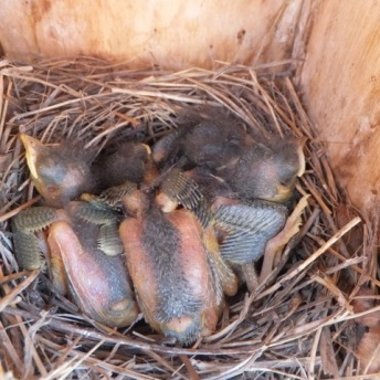 Eastern Bluebirds about 1 week old.