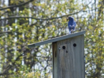 Male Eastern Bluebird bringing food to nest.