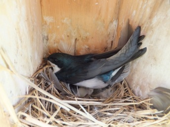 This Tree Swallow sat tight while nest was monitored.