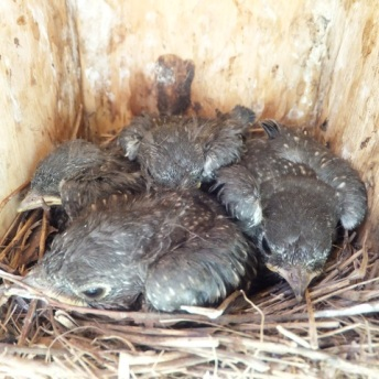 Eastern Bluebirds about 14 days old.