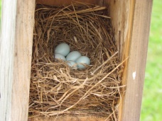 Full clutch - expected hatch around May 10.