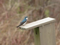 Tree Swallows are defending, but not building yet.