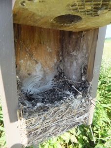 Dirty used Tree Swallow nest.