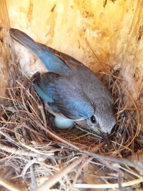 Female Eastern Bluebird on 3 eggs.