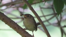 House Wren feeding young. (photo: Liz Williams)