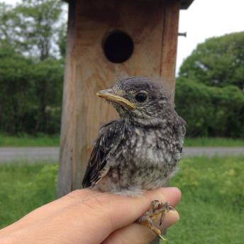 Bluebird Nestling July 2015