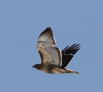 Red-tailed Hawk D Wheeler